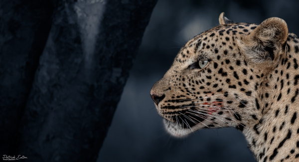 Safari - Leopard 001 - Home - Patrick Eaton Photography