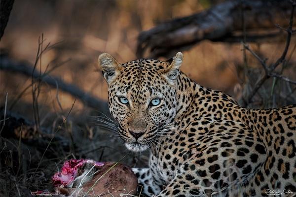 Safari - Leopard 005 - Underwater - Patrick Eaton Photography
