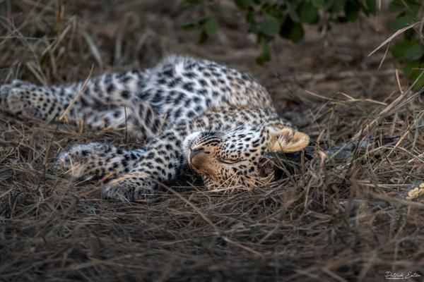 Safari - Leopard 004 - Underwater - Patrick Eaton Photography