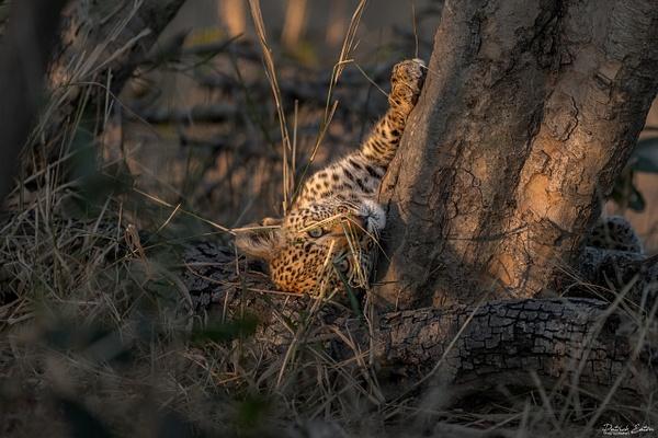 Safari - Leopard 006 - Underwater - Patrick Eaton Photography