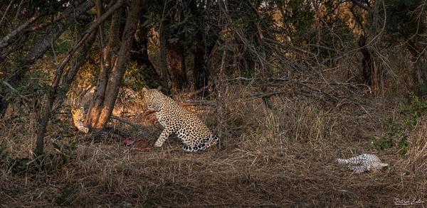Safari - Leopard 007 - Underwater - Patrick Eaton Photography