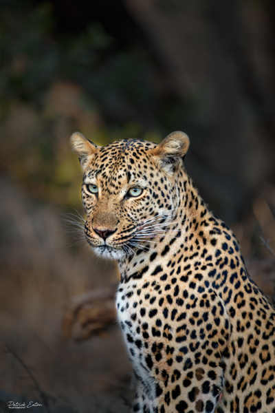 Safari - Leopard 013 - Underwater - Patrick Eaton Photography