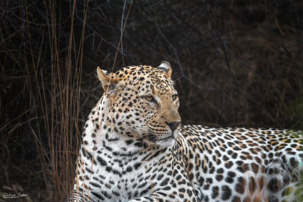 Safari - Leopard 022 - Underwater - Patrick Eaton Photography