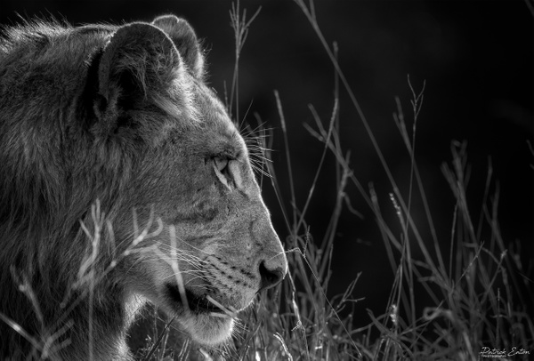 Safari - Lion 001 - Black & White - Patrick Eaton Photography
