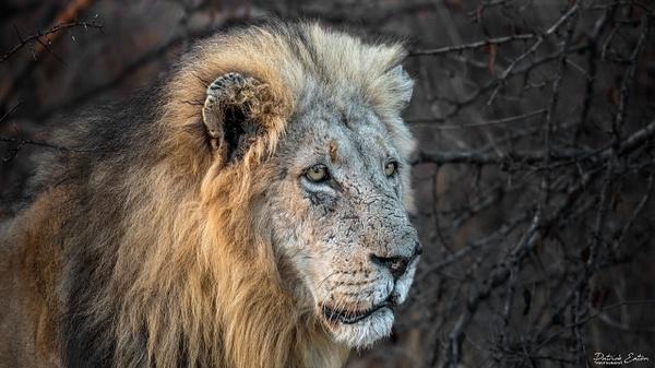 Safari - Lion 004 - Underwater - Patrick Eaton Photography