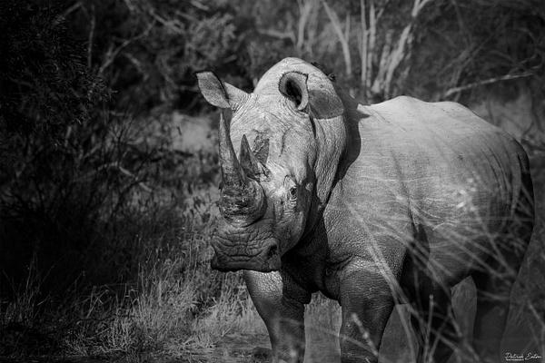 Safari - Rhino 001 - Underwater - Patrick Eaton Photography