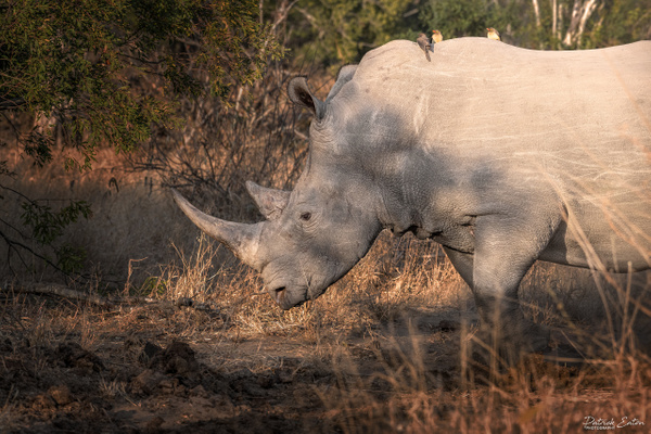 Safari - Rhino 002 - Underwater - Patrick Eaton Photography