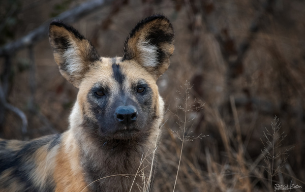 Safari - Wild Dog 001 - Underwater - Patrick Eaton Photography