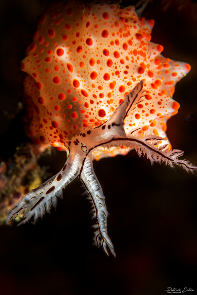 Thailand - Koh Pi Pi - Nudibranch 004 - Underwater - Patrick Eaton Photography