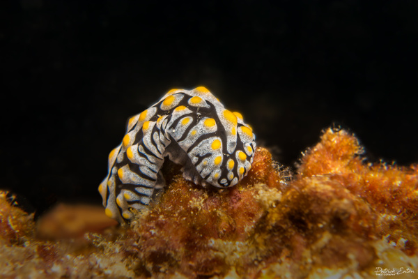 Thailand - Koh Pi Pi - Nudibranch 001 - Underwater - Patrick Eaton Photography