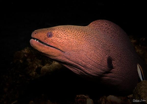 Thailand - Koh Pi Pi - Moray Eel 001 - Underwater - Patrick Eaton Photography