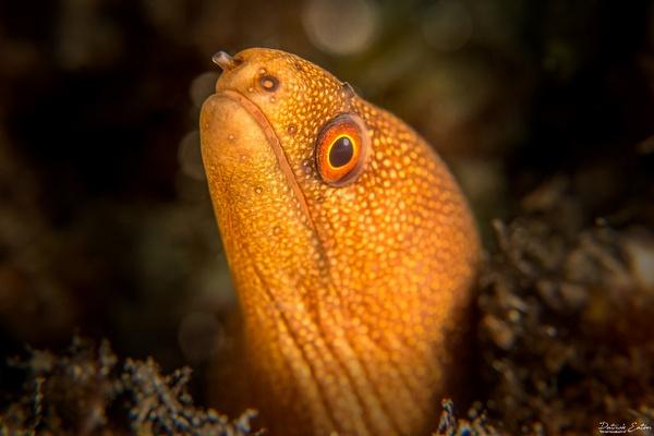 Cabo Verde - Moray Eeel 003 - Underwater - Patrick Eaton Photography