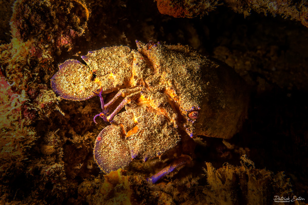 Cabo Verde - Cigal de mer 001 - Underwater - Patrick Eaton Photography
