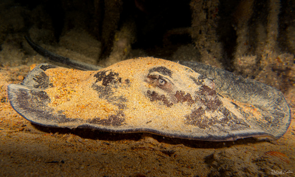 Cabo Verde - Sting Ray - Underwater - Patrick Eaton Photography
