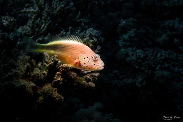 2020 Sharm El-Sheikh - Forsters Hawkfish 002 - Underwater - Patrick Eaton Photography