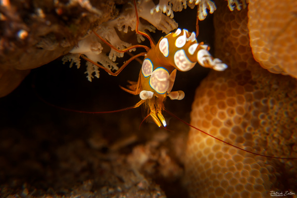 2020 Sharm El-Sheikh - Squat Shrimp 002 - Home - Patrick Eaton Photography