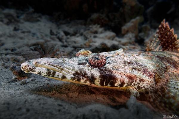 2020 Sharm El-Sheikh - Crocodile Fish 003 - Underwater - Patrick Eaton Photography