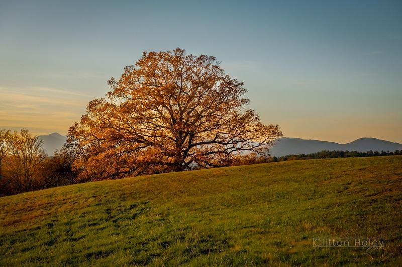 Biltmore Estate - Sunset Tree