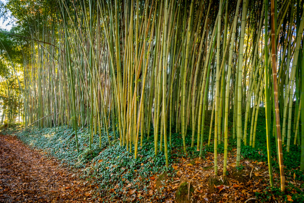 Biltmore Estate - Bamboo Grove by CliftonHaleyPhotography