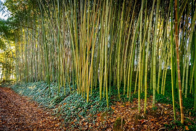 Biltmore Estate - Bamboo Grove