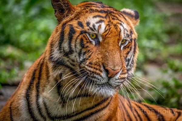 Tiger (Panthera Tigris) - Home - Clifton Haley Photography