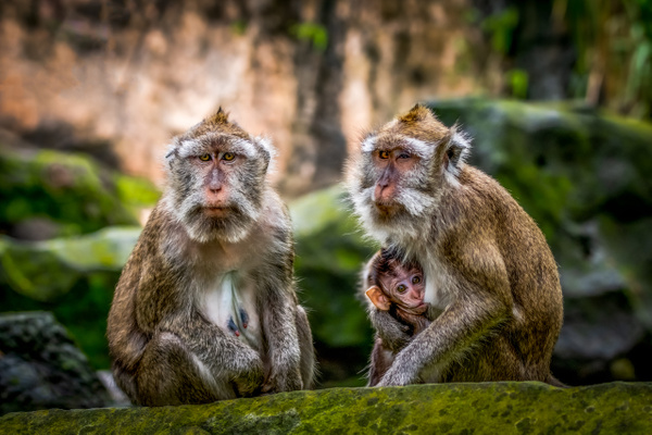 Balinese Long Tailed Monkey - Home - Clifton Haley Photography