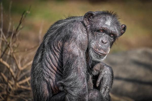 Chimpanzee (Pan Troglodytes) - Home - Clifton Haley Photography