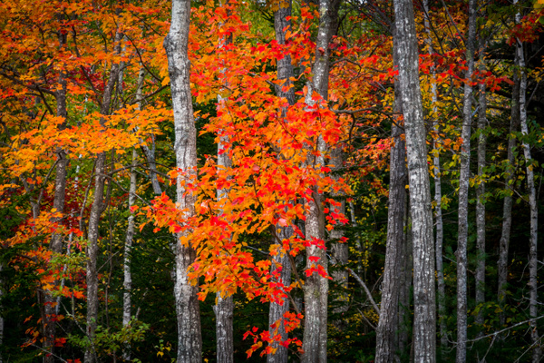 Colors in trees - Maine Acadia Park - Kirit Vora Photography