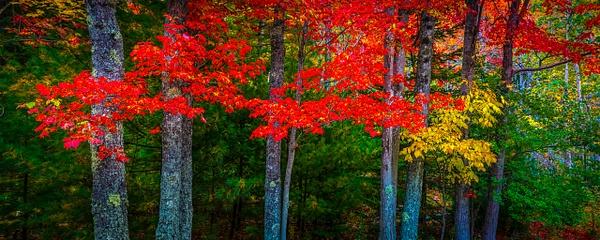 Tree Pano - Maine Acadia Park - Kirit Vora Photography