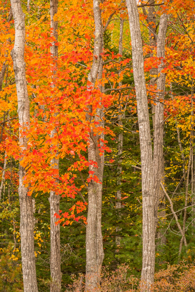Trees color - Maine Acadia Park - Kirit Vora Photography