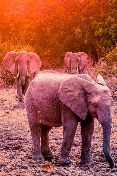 Zambia-Elephant-Sunset by ReiterPhotography