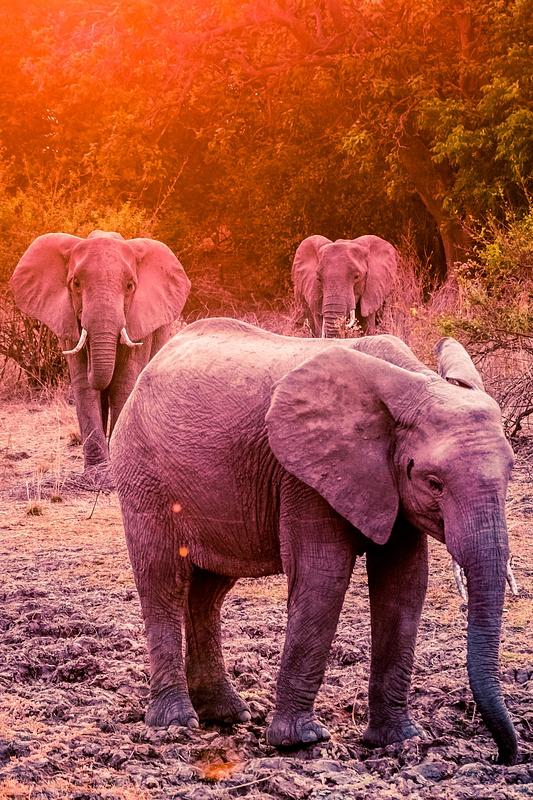Zambia-Elephant-Sunset