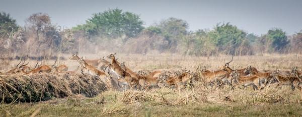 Zambia-Gazelles-Jump by ReiterPhotography