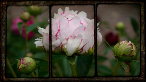 Pink Peony Triptych - Special Processes - Joanne Seador Photography