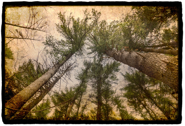 Trees on vellum with gesso - Special Processes - Joanne Seador Photography