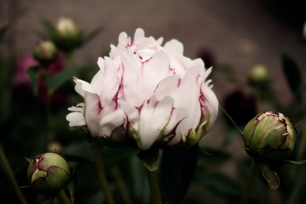 Pink peony - Flowers - Joanne Seador Photography