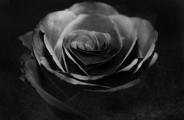 black rose3 - Black and white photography
