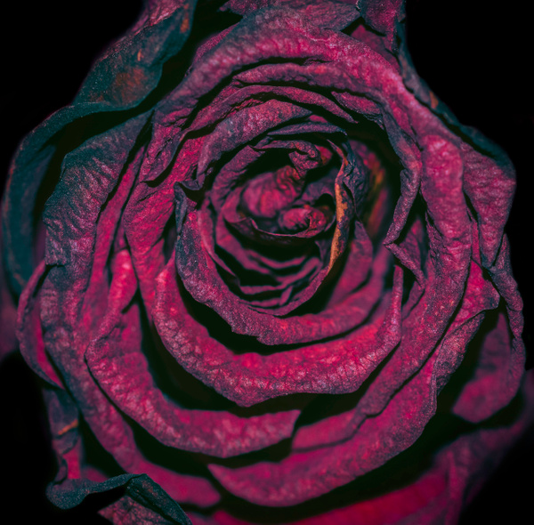 red rose2 - flower of all kind and leaves molin photografy