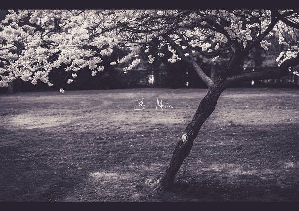 single cherry tree in the garden in blossom - Copenhagen City, denmark
