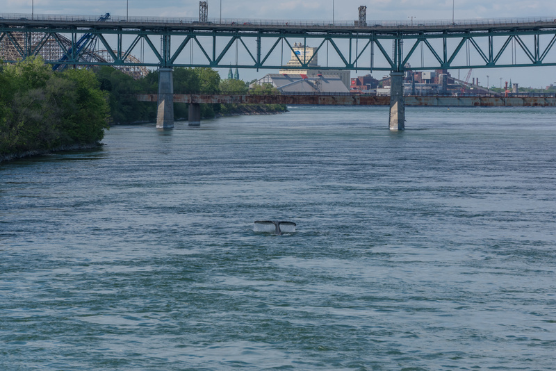 Montreal Whale 02