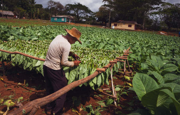 Tobacco plant by Andreas Maier