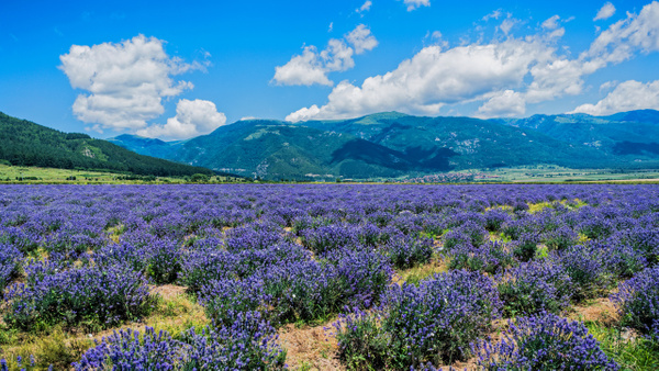 Lavender Fields - United Colours of Bulgaria - Arian Shkaki Photography
