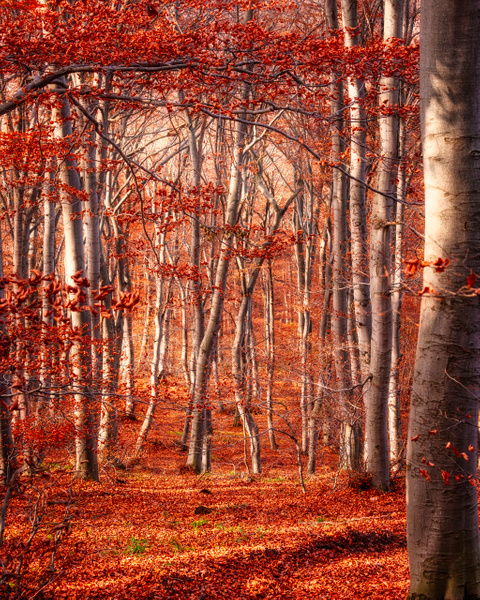 Trees of red.... by Arian Shkaki