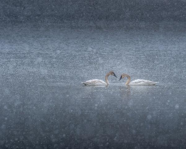 swansinsnow - Minneapolis - Bill Frische Photography