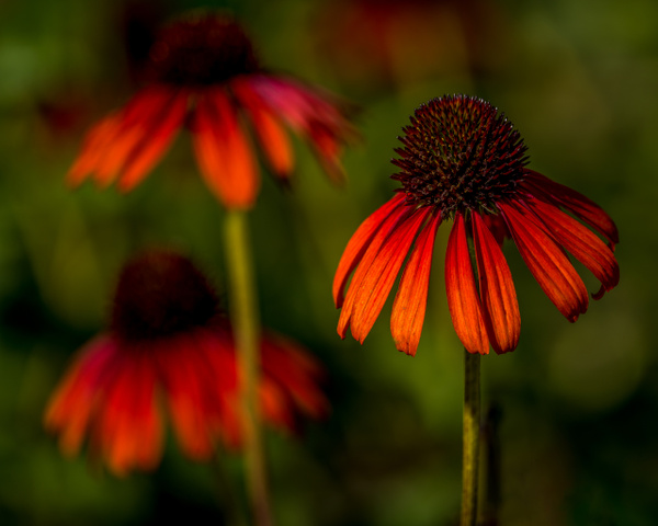 Three Cone Flowers - Miscellaneous  - Bill Frische Photography