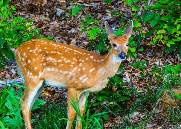 White Tail Fawn - Wildlife - Jim Krueger Photography