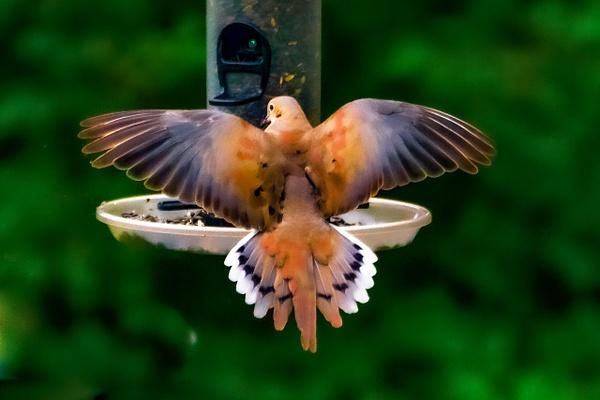Morning Dove - Wildlife - Jim Krueger Photography
