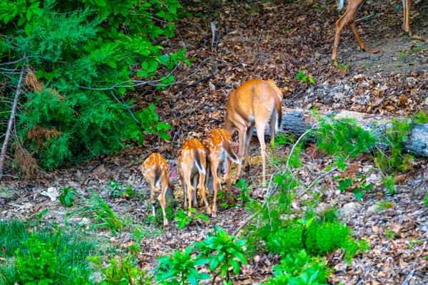 Doe and her fawns - Wildlife - Jim Krueger Photography