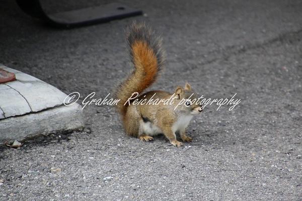 Alaska animals-Squirrel - Alaskan Animals - Graham Reichardt Photography