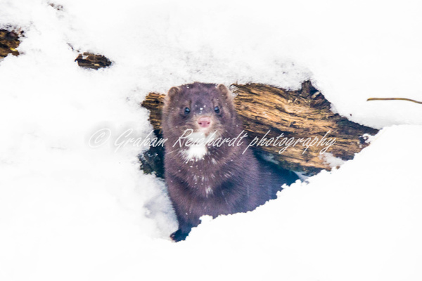 Alaskan animals pine Marten-5 - Alaskan Animals - Graham Reichardt Photography